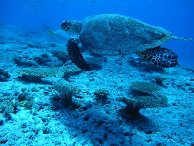 海中の中で泳ぐウミガメの写真