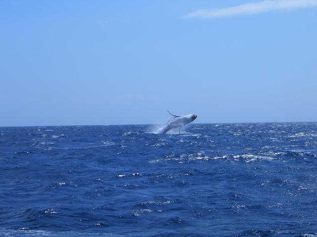 海の遠くでザトウクジラがブリーチング(水面に出て回転ジャンプ)している写真