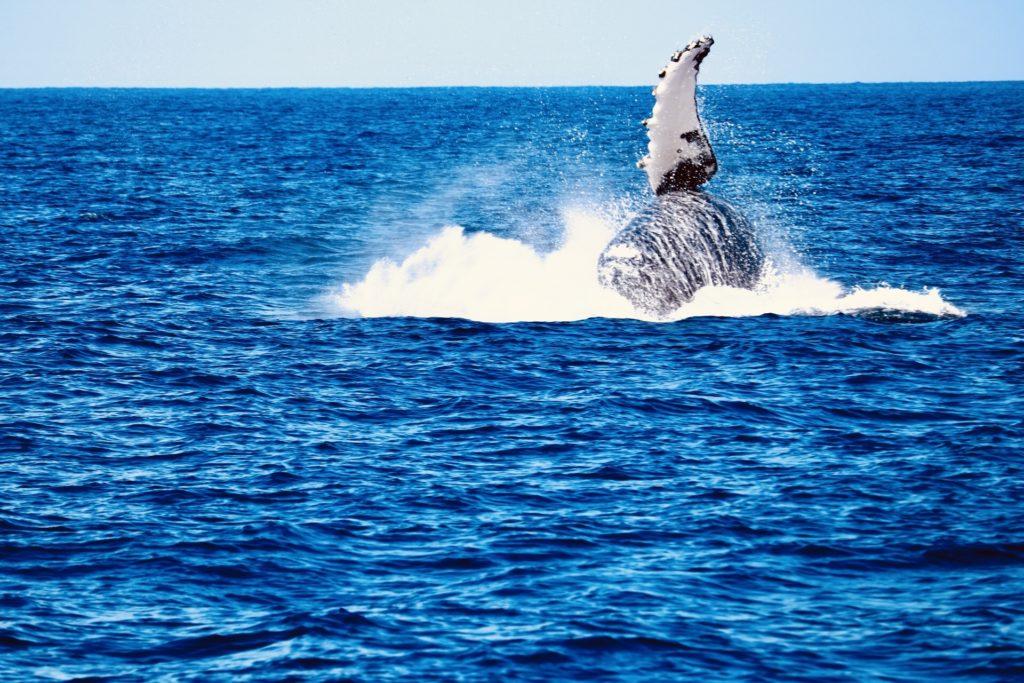 ザトウクジラのブリーチングと呼ばれる豪快なジャンプ写真